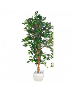 Ficus benjamina para escaparates veraniegos con helados en tiendas